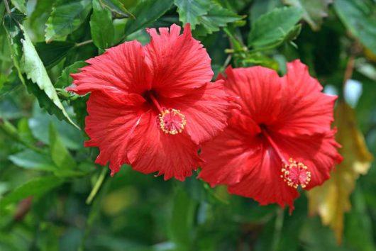 červená čínska ruža