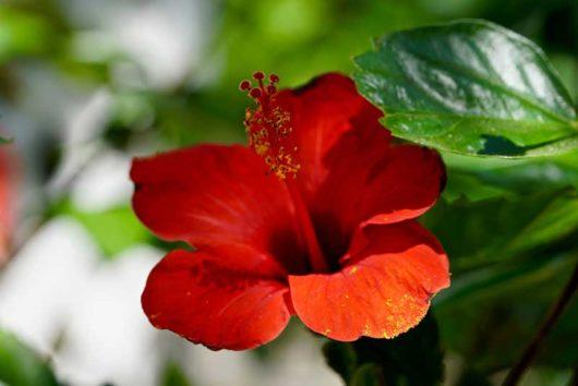 čínska ruža