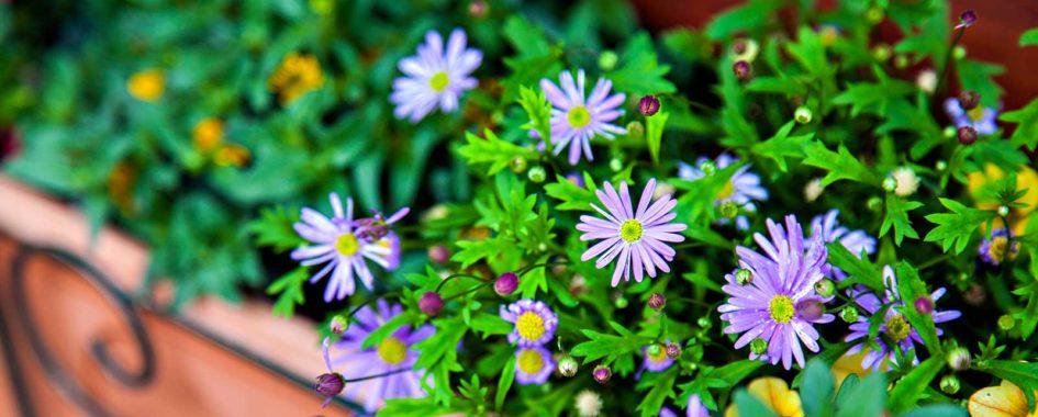 balkónové kvety